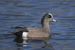 Male American Wigeon in late February.