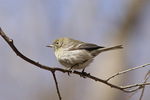 First spring female Pine Warbler on spring migration in mid-March.