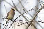 Cedar Waxwing feeding on the fruit of Chinese Scholartree (Styphnolobium japonicum) in mid-March.