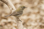 First spring female Pine Warbler in late March.