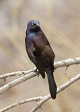 Common Grackle in late March on spring migration.