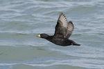 Male Black Scoter in flight in mid-March.
