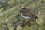 Ruddy Turnstone in late March.