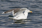 Adult Great Black-backed Gull in mid-April.
