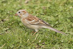 Field Sparrow foraging on lawn in mid-April on spring migration.