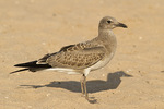 Juvenile Laughing Gull in early August.