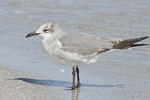 First-summer Laughing Gull in early March.