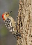 Female Red-bellied Woodpecker in mid-April.