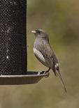 Female Dark-eyed Junco on thistle feeder in mid-April. E