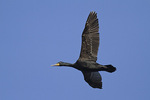 Adult Double-crested Cormorant in flight in mid-April.