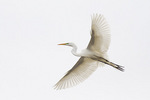 Great Egret in flight in late April.
