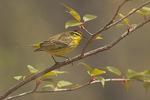 Yellow Palm Warbler in late April on spring migration.