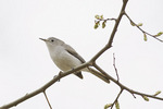 Blue-gray Gnatcatcher in late April on spring migration.