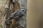 Male Black-and-white Warbler in late April on spring migration.