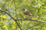 Adult White-eyed Vireo in Black Willow in late April on spring migration.