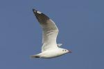Adult Brown-headed Gull (Chroicocephalus brunnicephalus) in non-breeding plumage in flight in early November.
