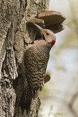 Male Northern Flicker in Black Locust (Robinia pseudoacacia) in early May.