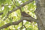 First-spring Chuck-will's-widow roosting in Horse Chestnut (Aesculus hippocastanum) in early May on spring migration.