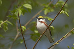 Adult male Chestnut-sided Warbler in early May on spring migration.