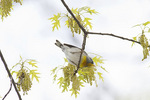 Adult male Northern Parula in flowering Pin Oak (Quercus palustris) in early May.