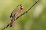 Female Northern Cardinal in early May.