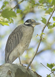 Subadult Yellow-crowned Night-Heron in mid-May.