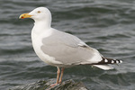 Adult Herring Gull in mid-March.