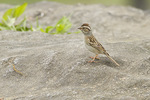 Clay-colored Sparrow, a rare spring migrant in southern New York State, in mid-May on spring migration. May 12, 2014.