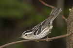 First-spring female Black-and-white Warbler in mid-May on spring migration.