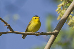 First-spring male Wilson's Warbler in mid-May on spring migration.