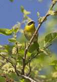 Male Common Yellowthroat in flowering Mulberry (Morus sp.) in mid-May on spring migration.