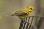 Male Prairie Warbler in early May on spring migration.