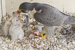 Adult female Peregrine Falcon feeds ten-day-old nestlings.