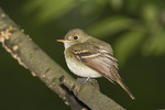 Acadian Flycatcher in late May on spring migration.