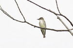 Olive-sided Flycatcher in late May on spring migration.
