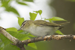 Adult Red-eyed Vireo in late May.