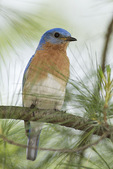 Male Eastern Bluebird in late May on spring migration.