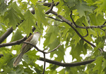 Black-billed Cuckoo in late May on spring migration.