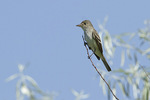 Adult Willow Flycatcher in willow late June.