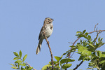 Male Song Sparrow singing on territory in early June.