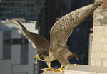 Adult female Peregrine Falcon perched near the nest about to fly off in late May.