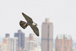 Adult female Peregrine Falcon returns to the nest with prey in early June.