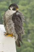 Adult female Peregrine Falcon preening near the nest in mid-June.