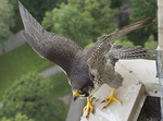 Adult female Peregrine Falcon perched near the nest in mid-June.