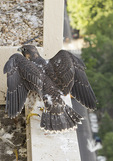 Nestling male Peregrine Falcon, thirty-six days old, at nest box in mid-June.