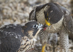 Adult female Peregrine Falcon feeds five-week-old female nestling in mid-June.