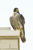 Adult female Peregrine Falcon preens on a perch above the nest in mid-June.