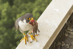 Adult male Peregrine Falcon delivers male House Finch (Haemorhous mexicanus) to the nest in mid-June.
