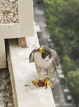 Adult male Peregrine Falcon delivers food to the nest overlooking Central Park in the 4th week of June.
