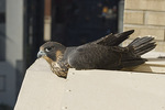 Nestling female Peregrine Falcon resting on top of nest box in the third week of June, the day before fledgling.